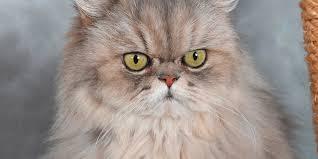 Les différentes races de chats
