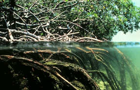 Mangroves. (Photo via WikiMedia Commons)