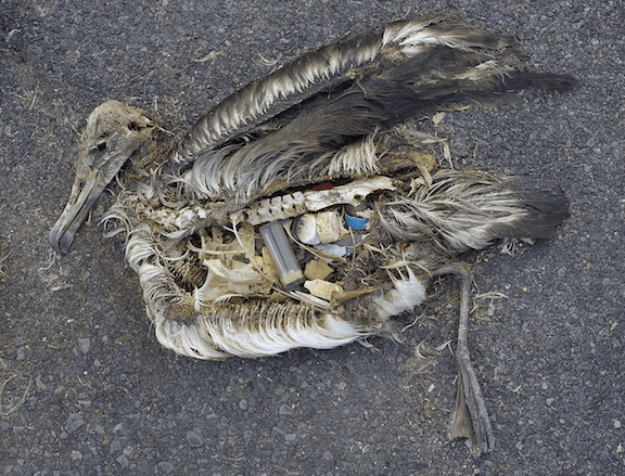 Albatross carcass on Midway atoll / © Chris Jordan