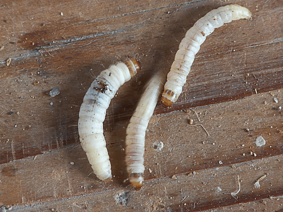 Waxworms, the larvae of Plodia interpunctella