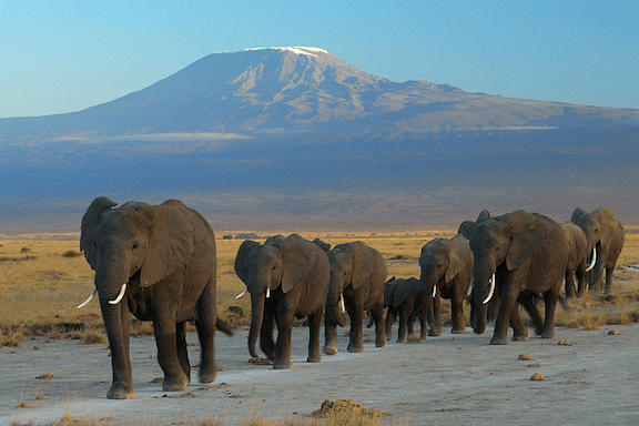 Elephants at Amboseli national park against Mount Kilimanjaro (Image: Amoghavarsha / WikiMedia Commons)