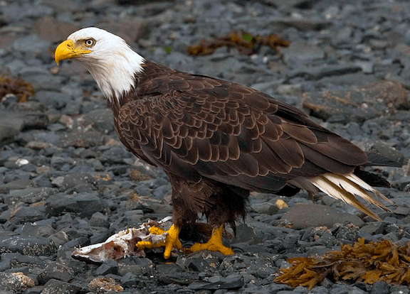 Bald eagle (Source: WikiMedia Commons)