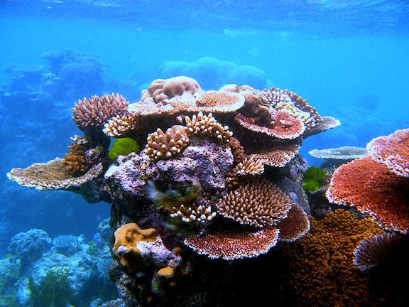 Corals in Flynn Reef, part of the Great Barrier Reef near Cairns, Queensland, Australia. (Image Credit: Toby Hudson / WikiMedia Commons)