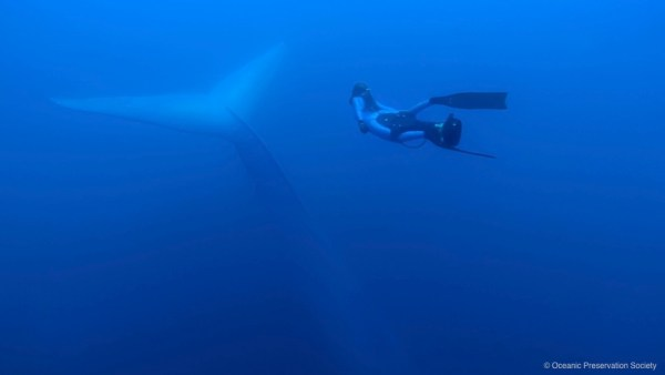 Freediver and blue whale. (Image: Ocean Preservation Society)