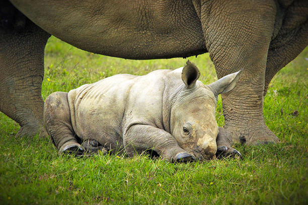 A rhino calf. (Photo: Creative Commons)