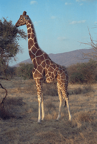 Reticulated giraffe in Samburu National Reserve, Kenya. (Image Credit: Dan Lundberg)