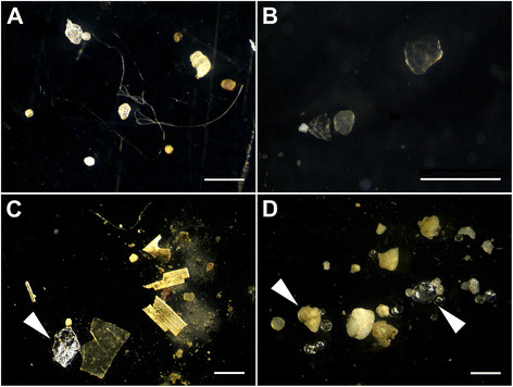 Microplastics in sediments from the rivers Elbe (A), Mosel (B), Neckar (C), and Rhine (D). Note the diverse shapes (filaments, fragments, and spheres) and that not all items are microplastics (e.g., aluminum foil (C) and glass spheres and sand (D), white arrowheads). The white bars represent 1 mm. (Image Credit: Martin Wagner et al., Microplastics in freshwater ecosystems: what we know and what we need to know.)