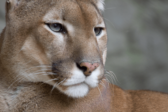 Puma at the Belgrade Zoo. (Image Credit: Bas Lammers / Flickr)