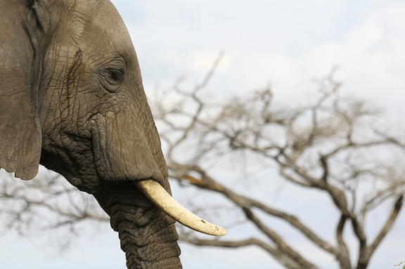 Elephant with ivory tusks. (Photo Credit: Pixabay)