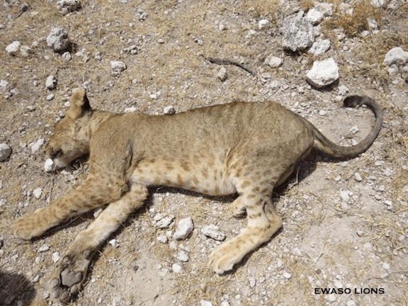 One of the dead lions. (Photo Credit: Ewaso Lions)