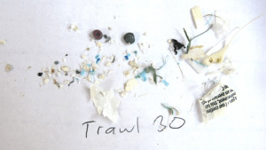 Microplastics in Trawl #30. (Photo Credit: 5 Gyres)