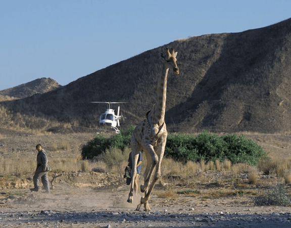 Tracking an Angolan giraffe in Namibia. (Photo Credit: Mike Kock)