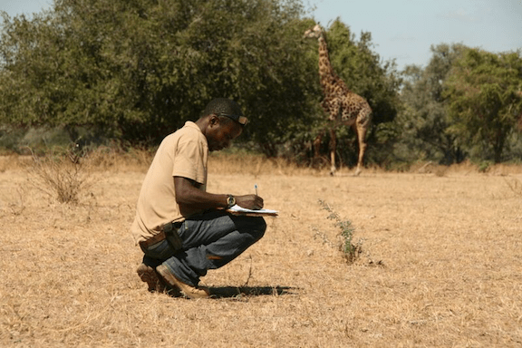 Observing a giraffe. (Photo Credit: Zambia Carnivore Project)