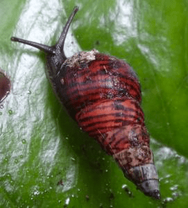 One of the last remaining amastrid land snail species on O'ahu, Laminella. (Photo Credit: Kenneth A. Hayes / University of Hawai'i)
