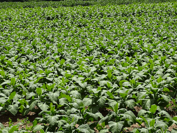 A field of tobacco plants on a farm in Clover, Virginia. (Photo Credit: EMW / WikiMedia Commons)