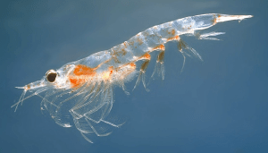 A Northern krill (Meganyctiphanes norvegica). (Photo Credit: Øystein Paulsen - MAR-ECO)