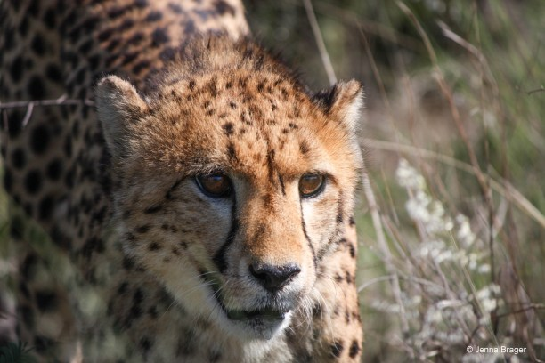 Photo Credit: Jenna Brager, courtesy of the Cheetah Conservation Fund