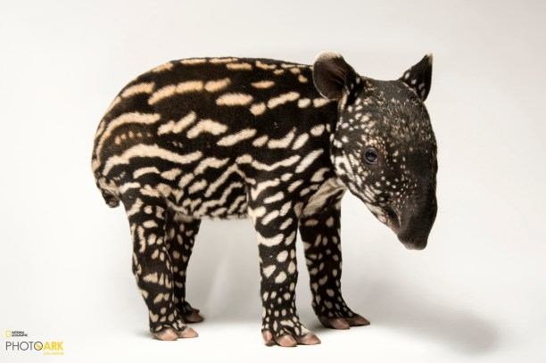 A six-day-old Malayan tapir (Tapirus indicus) at the Minnesota Zoo, MN. (© Photo by Joel Sartore/National Geographic Photo Ark)