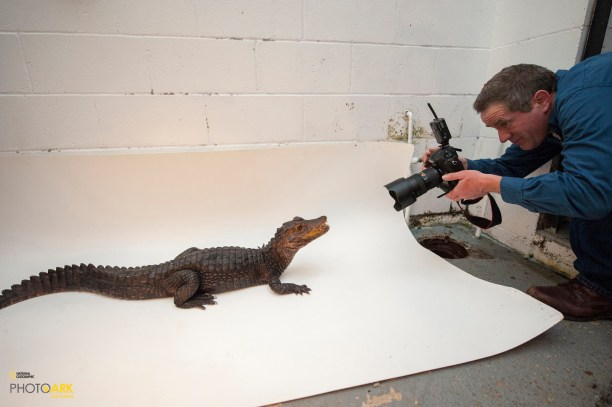 Joel photographing a Dwarf caiman (Paleosuchus palpebrosus) Sunset Zoo, Manhattan, KS. (© Photo by Joel Satore / National Geographic)