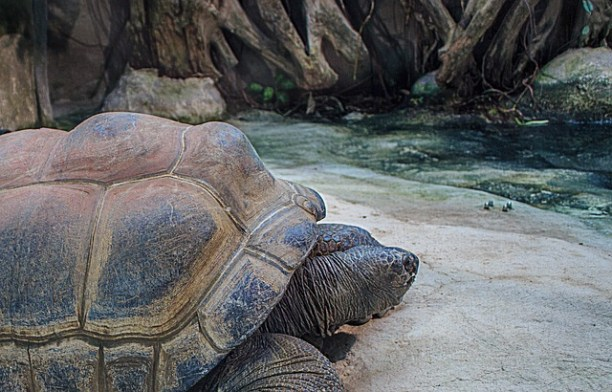 The Aldabra giant tortoise (Aldabrachelys gigantea), found on the islands of the Aldabra Atoll, is one of the largest tortoises in the world. (Photo Credit: Pixabay)