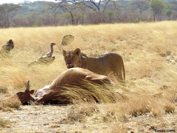 When lions kill livestock like this cow, herders often retaliate and try to kill the lion. (Photo Credit: Ewaso Lions)