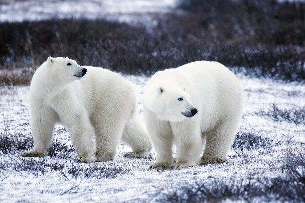 Polar bears. (Photo Credit: Gary Kramer / USFWS / Flickr)