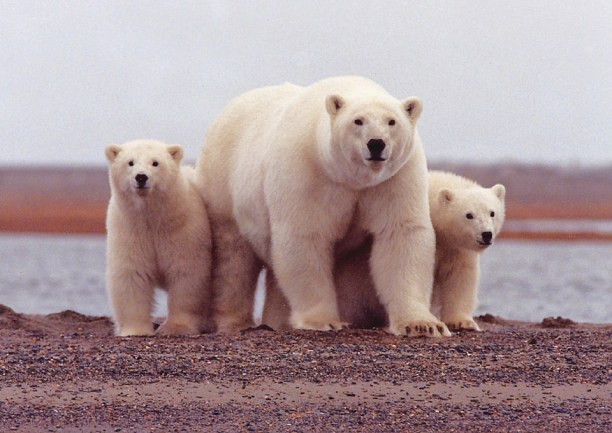 Polar bear mother and cubs. (Photo Credit: Pixabay)