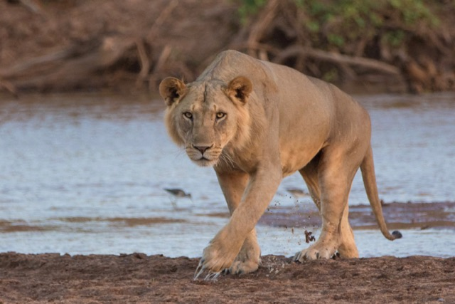 A male lion was shot and killed recently. We do not yet know the identify but we fear it might be Loiwotwa. (Photo Credit: Kris Norvig)
