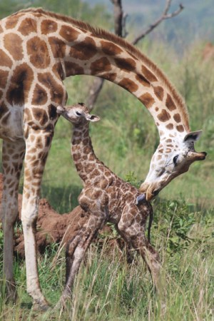 © Giraffe Conservation Foundation