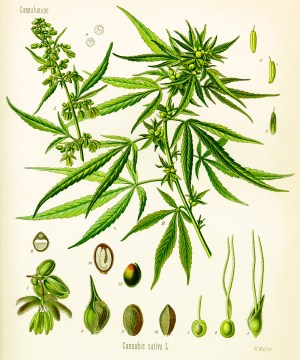 Cannabis as illustrated in Köhler's book of medicinal plants from 1897.