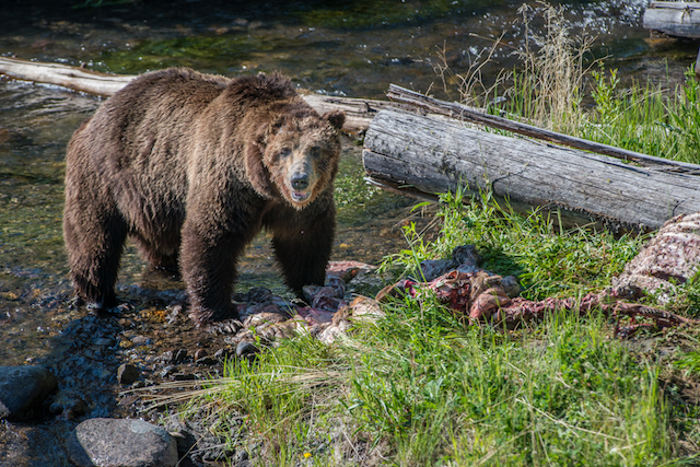 Scarface with a meal. (Photo Credit: Simon Jackson / Ghost Bear Photography)
