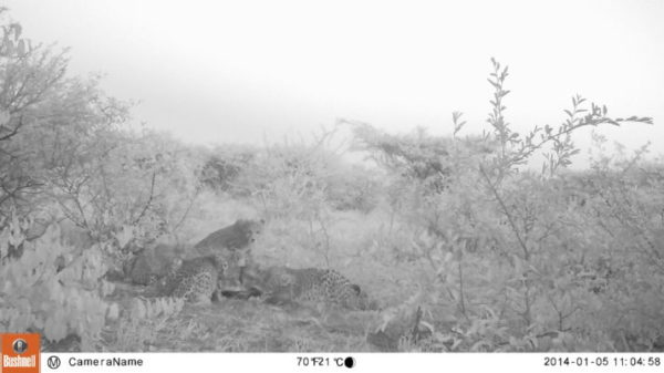 Camera trap photo showing Zinzi and her cubs at the supplemental feeding spot. (Photo Credit: CCF)