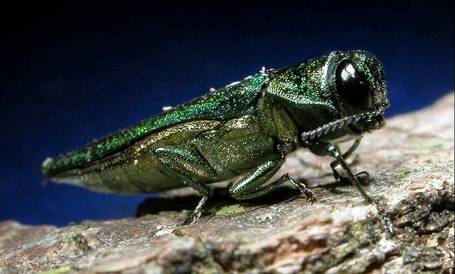 Emerald ash borer. (Photo Credit: U.S. Department of Agriculture)