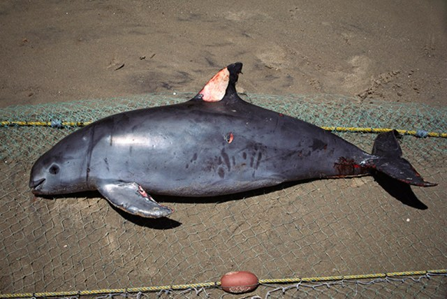 Vaquita or Gulf of California Harbor Porpoise (Phocoena sinus), killed in gill net intended for sharks. Sea of Cortez near San Felipe, Mexico. (Photo Credit: Unknown)