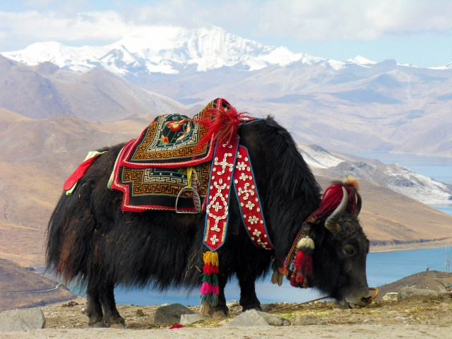 Tibetan Yak near Yamdrok lake, Tibet. (Photo Credit: Dennis Jarvis, CC BY-SA 3.0)