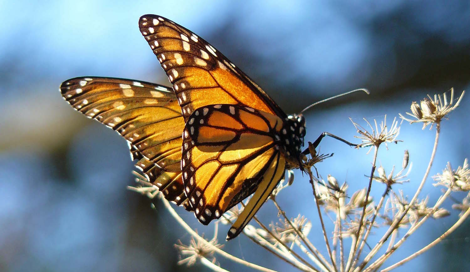 POLL: Should the US FWS be sued for failing to protect the Monarch butterfly?