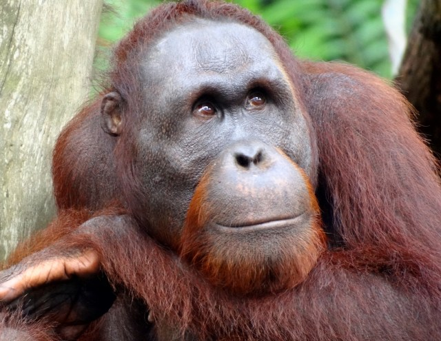 Adult orangutan at the Singapore Zoo in 2012. (Photo Credit: Bjørn Christian Tørrissen via WikiMedia Commons)