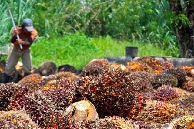 Palm oil fruits after a harvest. (Photo Credit: Craig Morey / Flickr)