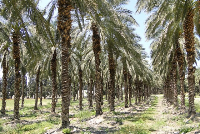 Palm oil plantation near Tiberias, Galilee, Israel. (Photo Credit: Adam Jones / Flickr)