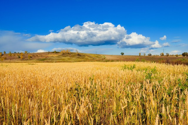Field of wheat. (Photo Credit: PublicDomainPictures.Net)