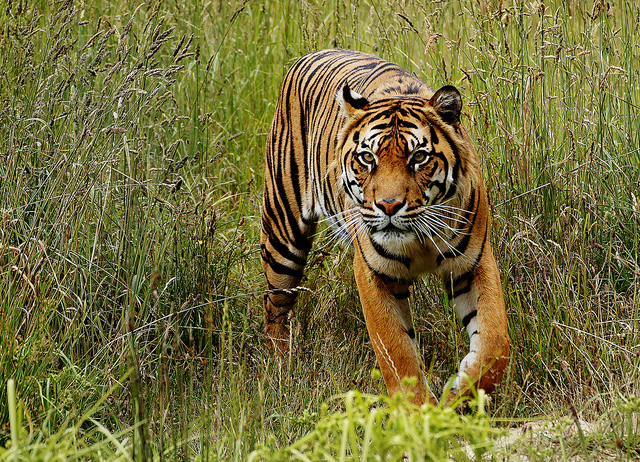A Sumatran tiger lurks in some tall grass. (Photo: Bernard Spragg / Flickr)