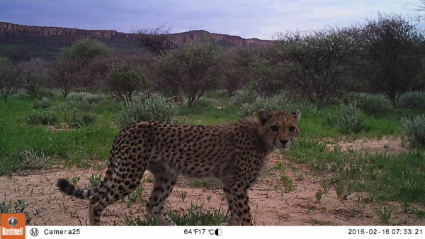 Cheetah monitored by a camera trap. Another way in which CCF keeps track of cheetah population and movement to help farmers know where cheetahs roam. (Photo: CCF)