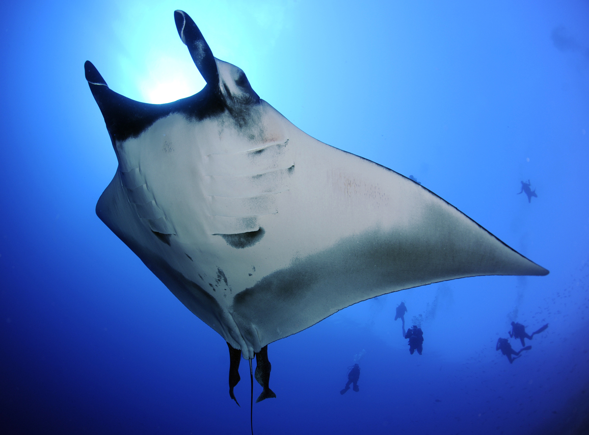 An Oceanic Manta dwarfs divers at Fuvahmumulah Atoll, the Maldives. Photo by Guy Stevens.