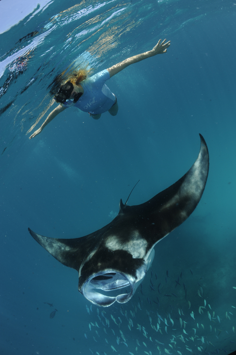 Snorkeler with reef manta at Hanifaru Bay, the Maldives. Photo by Guy Stevens, the Manta Trust