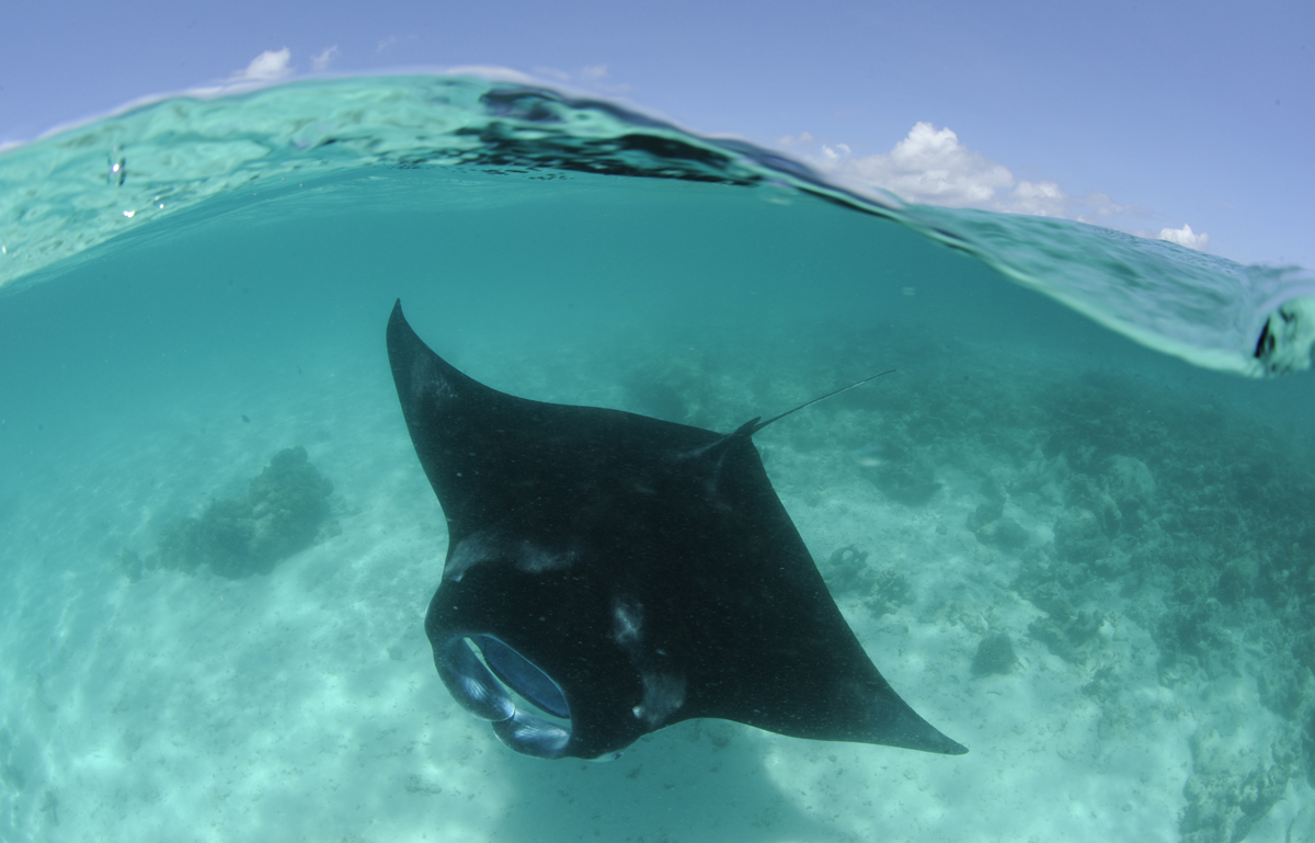 mantas are often found near the surface as they chase plankton. Photo by Guy Stevens.