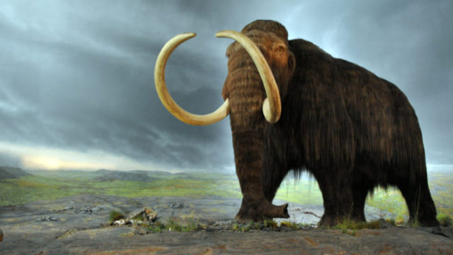 Could the wooly mammoth roam Earth again? (Photo: UCLA Institute of the Environment and Sustainability)