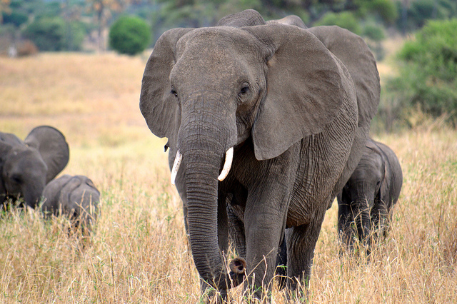 Elephants roam the grasslands of Tanzania. (Photo: Megan Coughlin / Flickr)