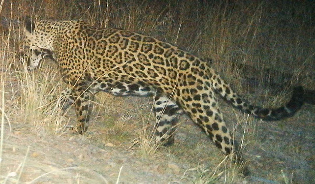 A male jaguar photographed by automatic wildlife cameras in Arizona's Santa Rita Mountains in 2014. (Photo: USFWS)
