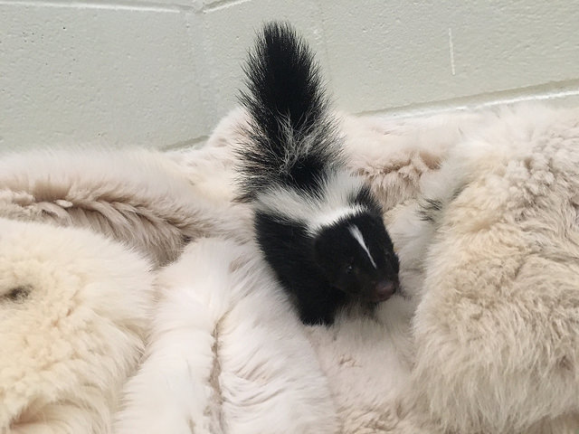 A small, orphaned skunk kit feels safe and secure in a fox fur coat, donated by Born Free USA. (Photo: The Fund for Animals Wildlife Center)