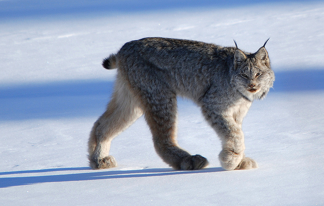 A Canada lynx. (Photo: Keith Williams / Flickr)